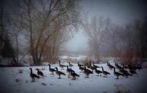 Jordan River Parkway Geese