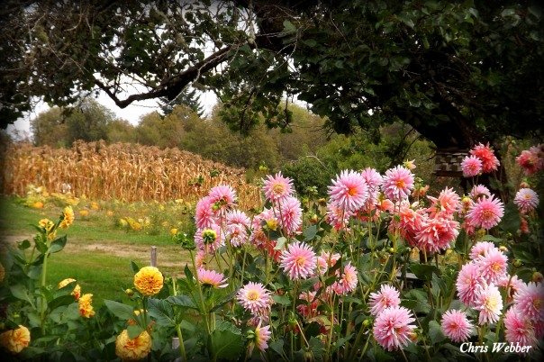 cornfields and dahlias