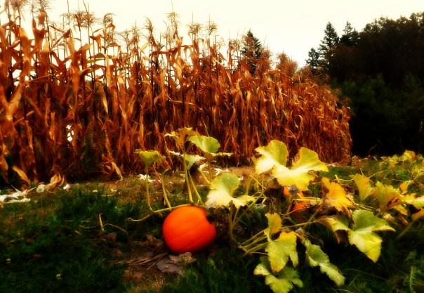 lomo pumpkin corn fields