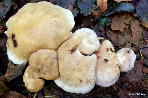melted marshmallow mushroom