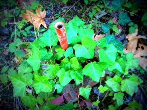 Red Stake growing in ivy