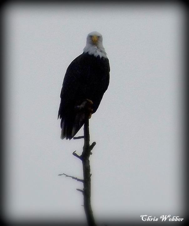 eagle sig